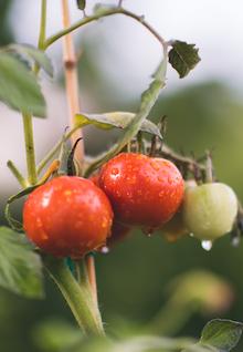 Tomato Organic Unsplash